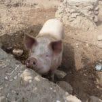 Cima utilise une partie des déchets produits à la cuisine pour nourrir les animaux