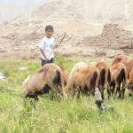 (les moutons de Cima sont de la race Blackberry d'où la ressemblance avec des chèvres. Ils sont particulièrement résistants).