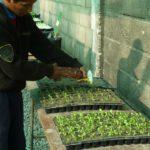 à la plantation en terre